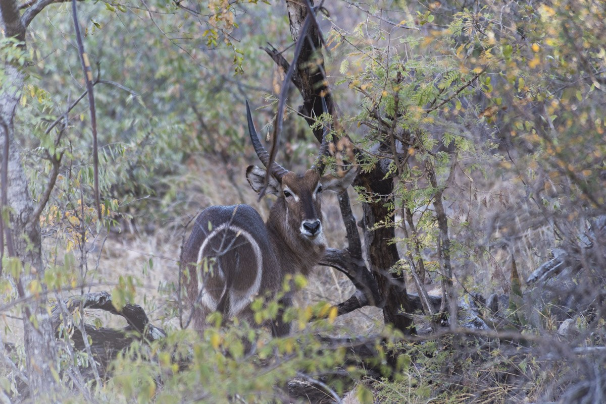 south africa waterbuck