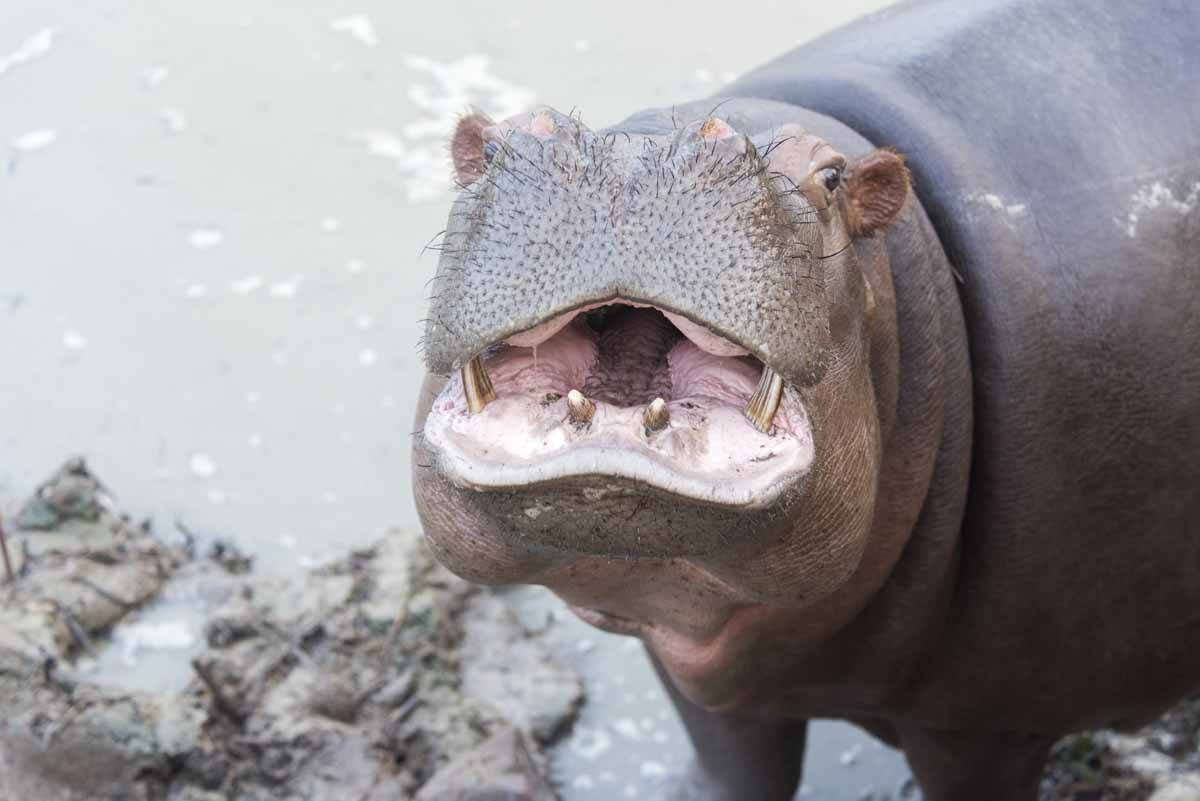 care for wild africa hippo