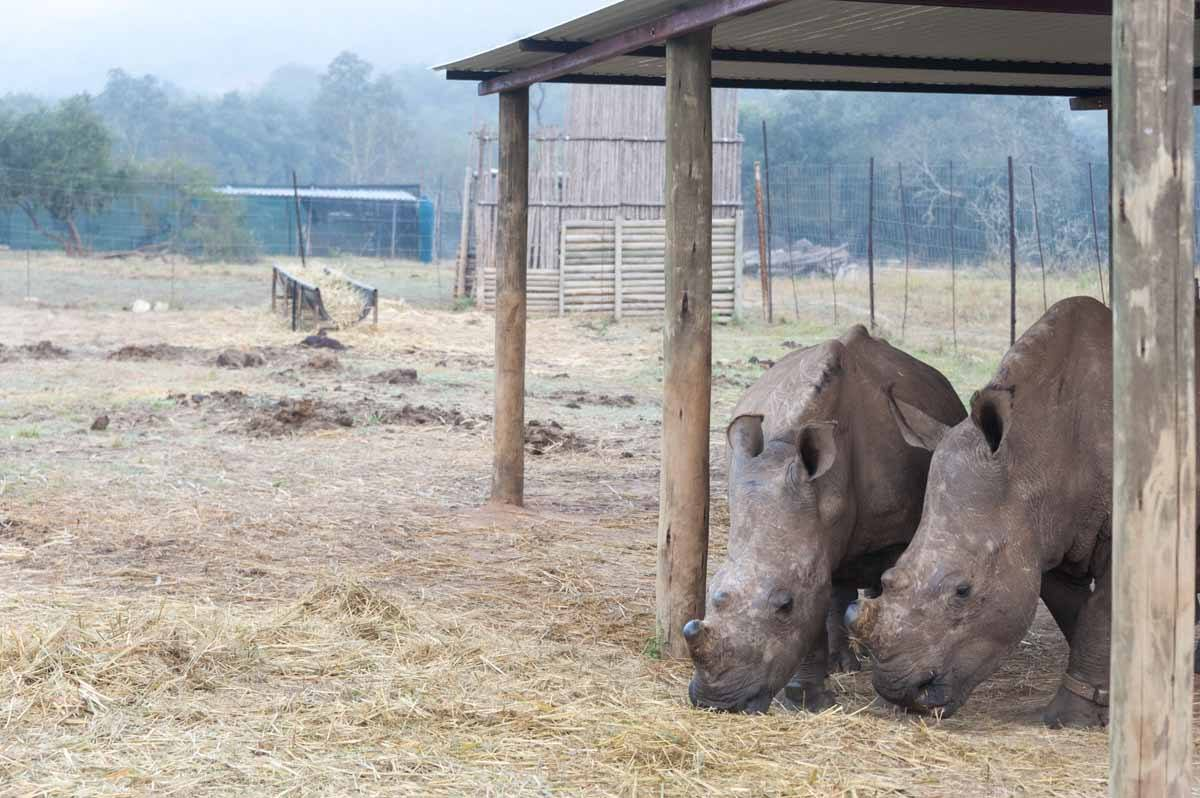 care for wild africa rhino boma