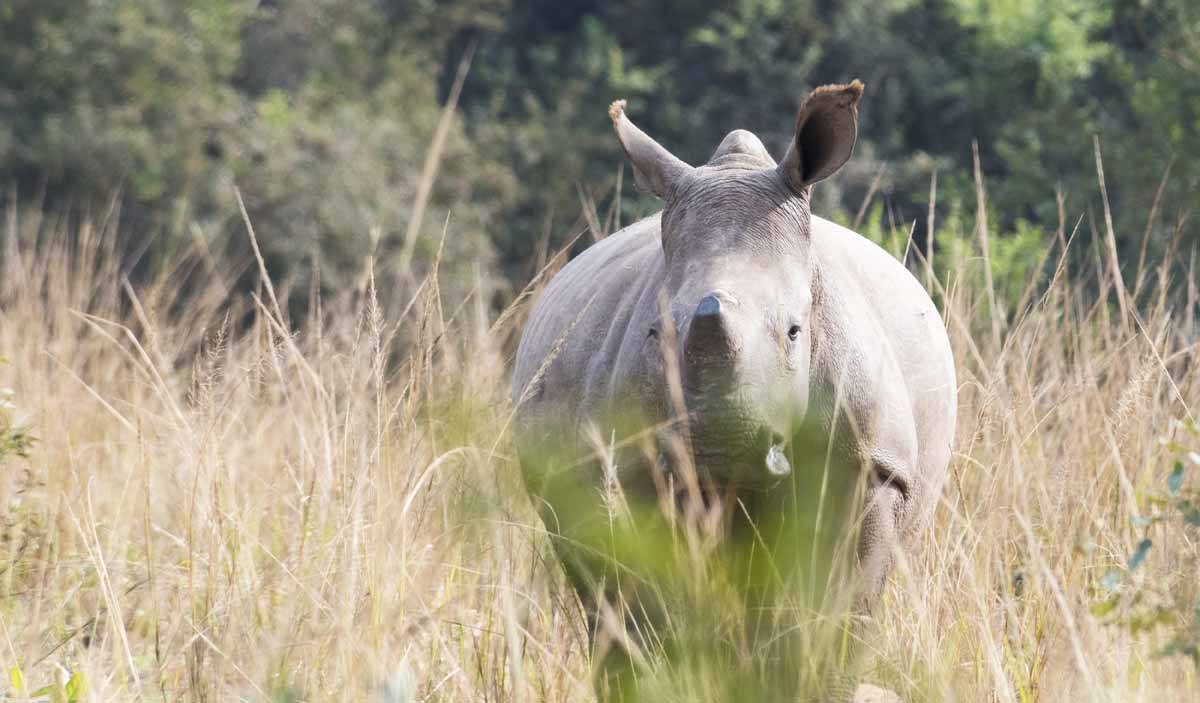 care for wild africa rhino kruger