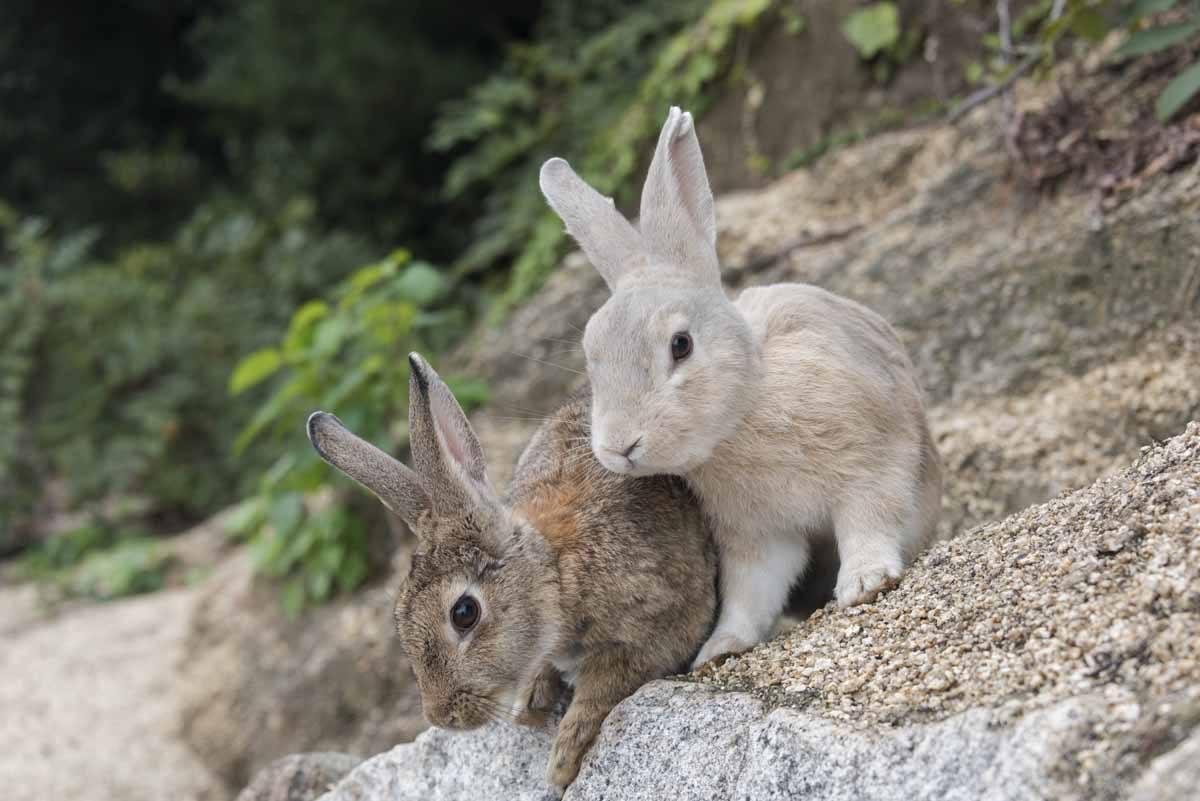 japan rabbits on wall