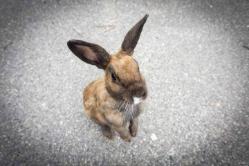 okunishima japan rabbit island