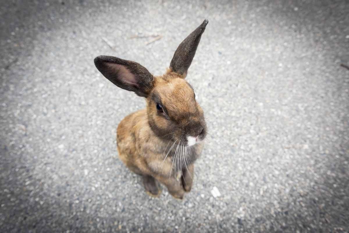 okunishima japan rabbit island