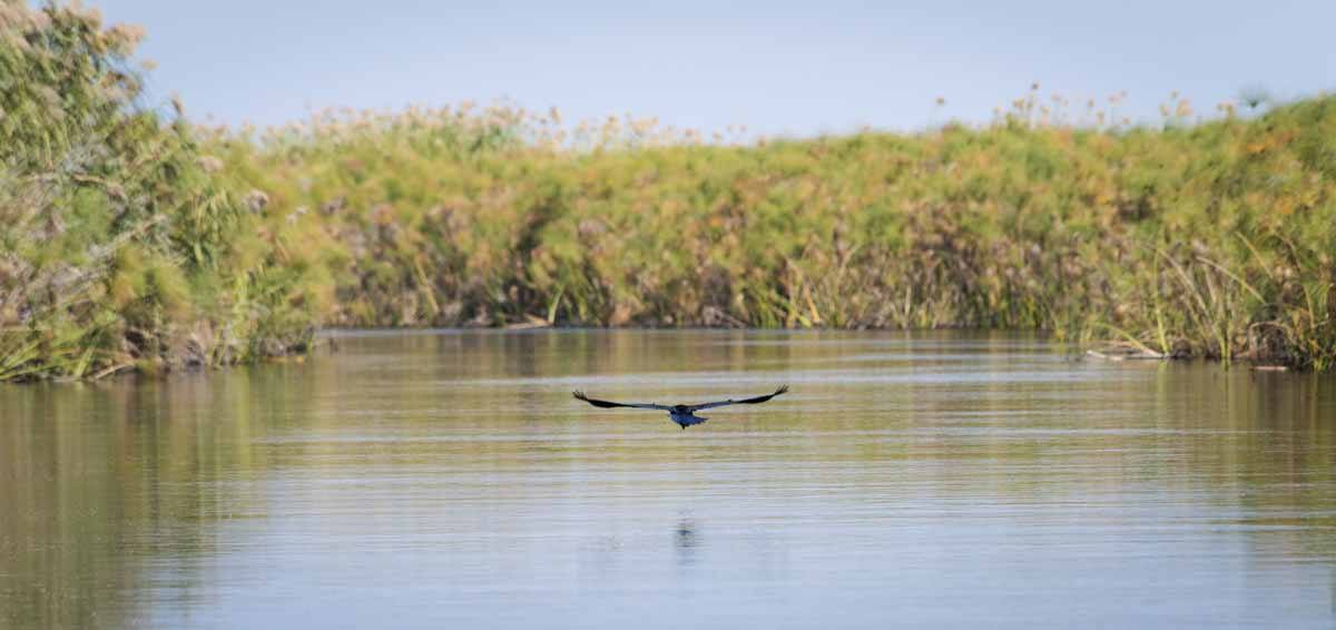 botswana delta bird flying