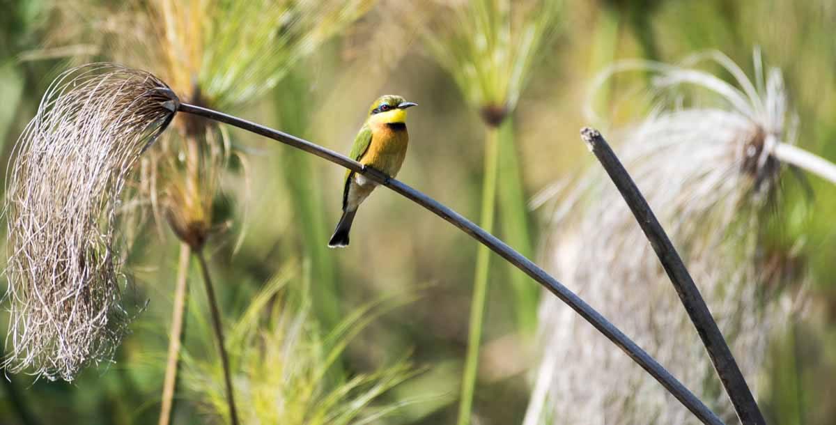 botswana kingfisher