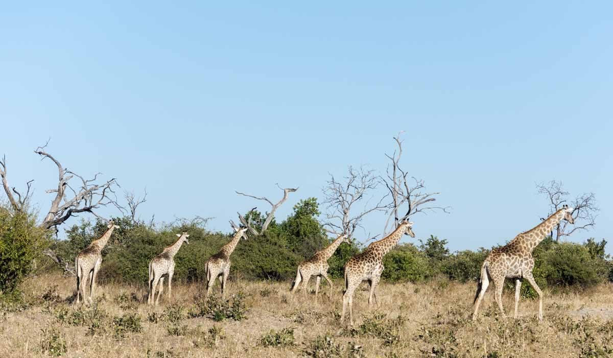 giraffes chobe botswana itinerary