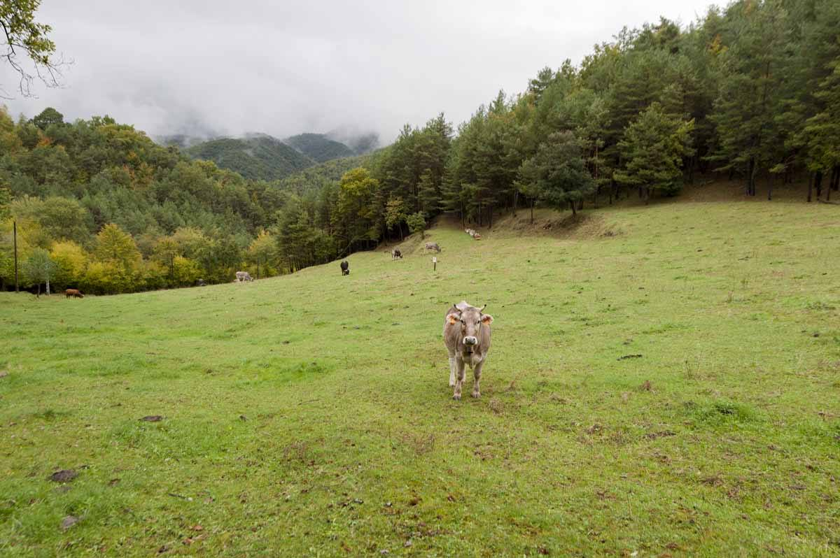 hiking pyrenees cow