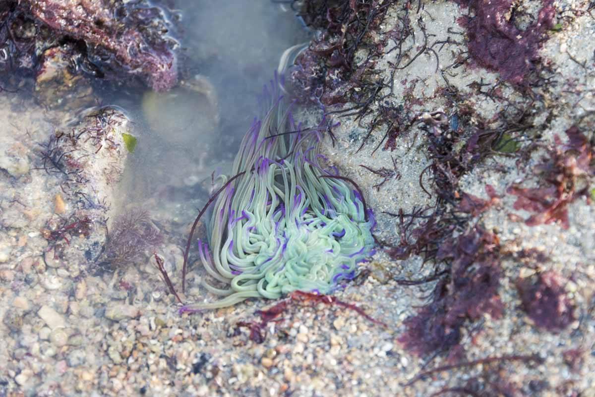 low tide anemone jersey