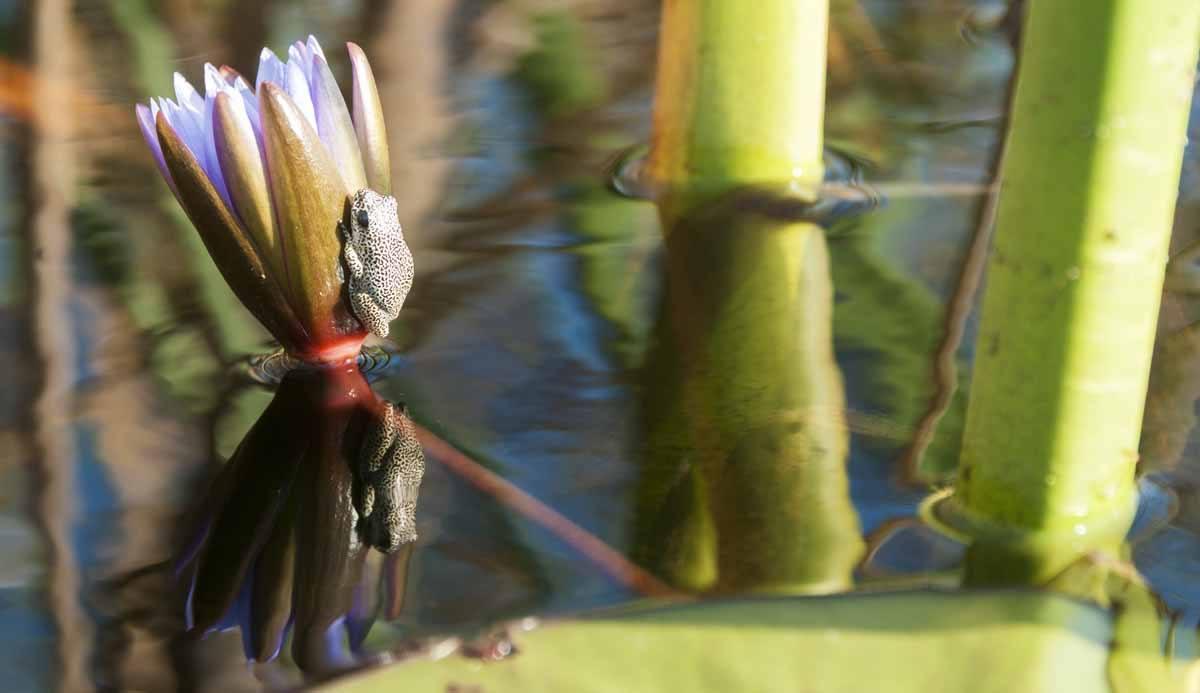 okavango delta frog