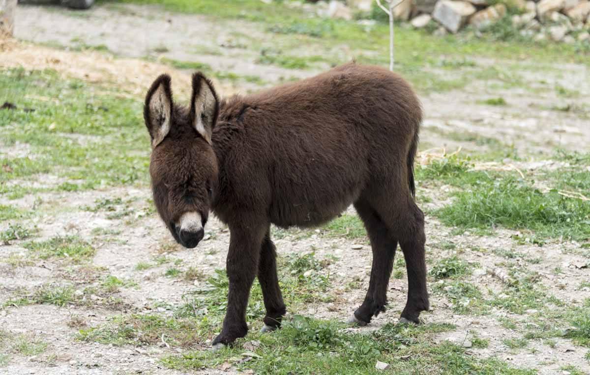 pyrenees baby donkey