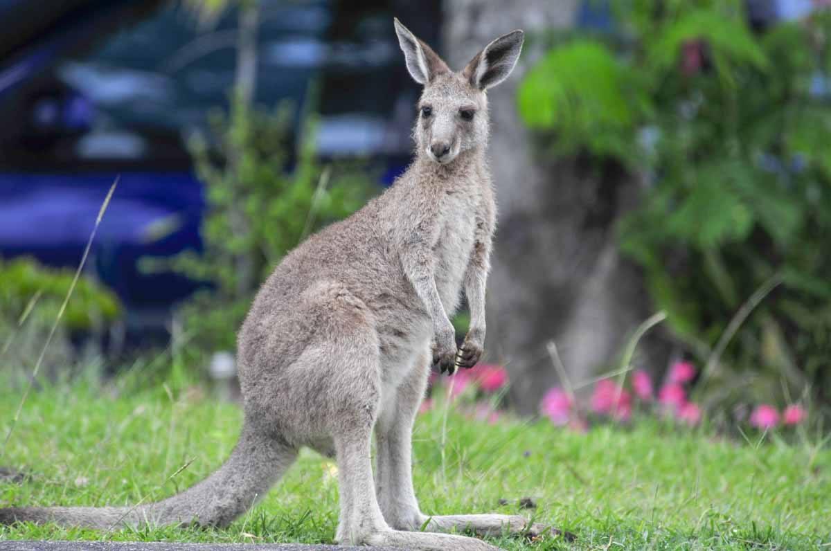 australia kangaroo garden