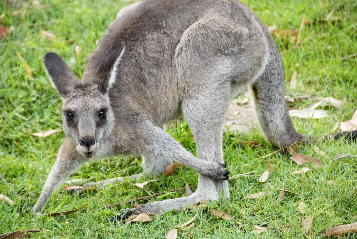kangaroo sanctuary australia responsible