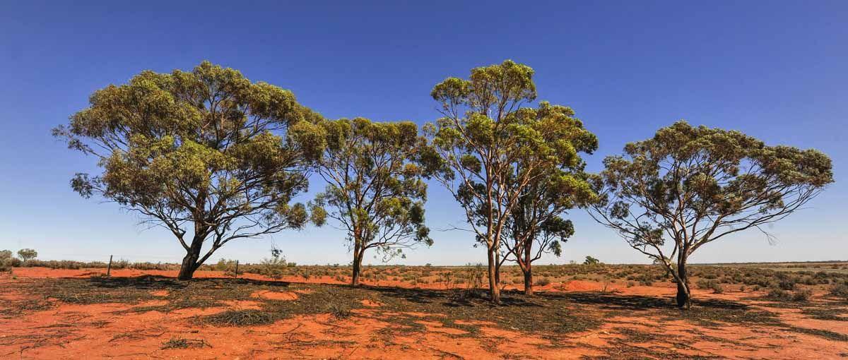 outback trees australia