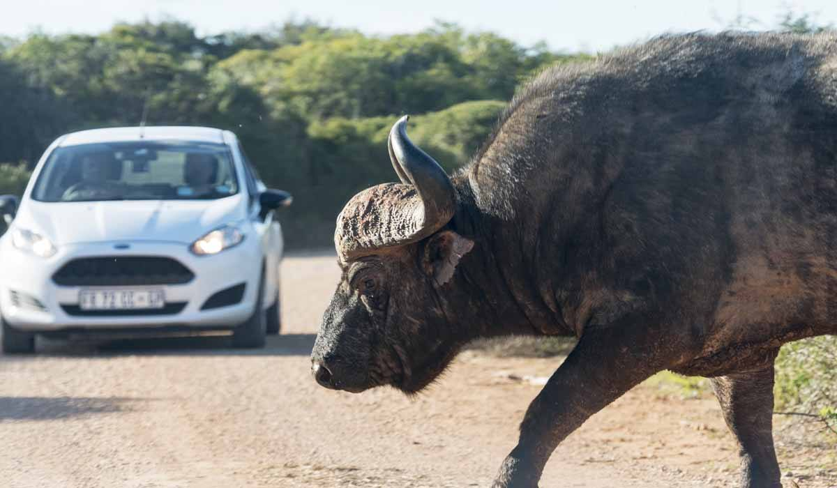 responsible animal activities south africa buffalo