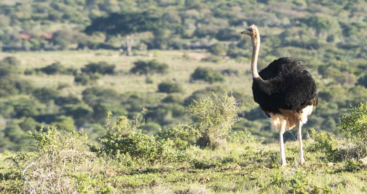 responsible animal activities south africa ostrich