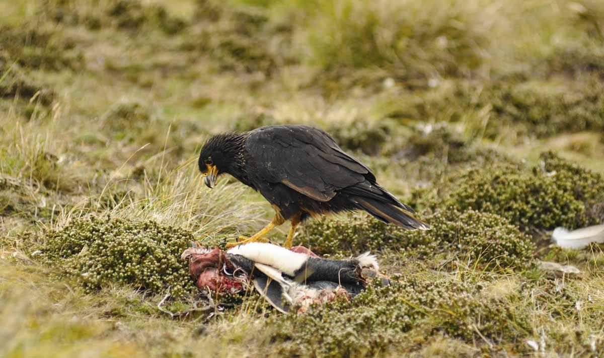 falkland bird of prey