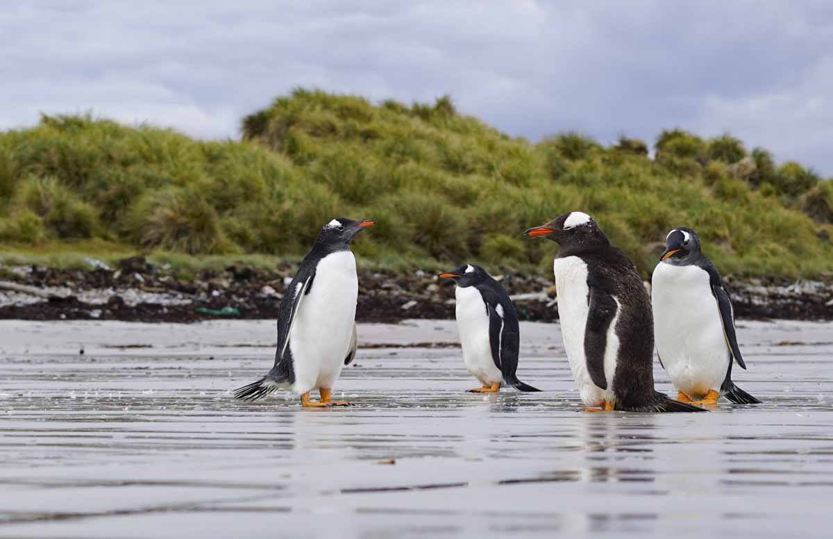 falkland islands wildlife penguins
