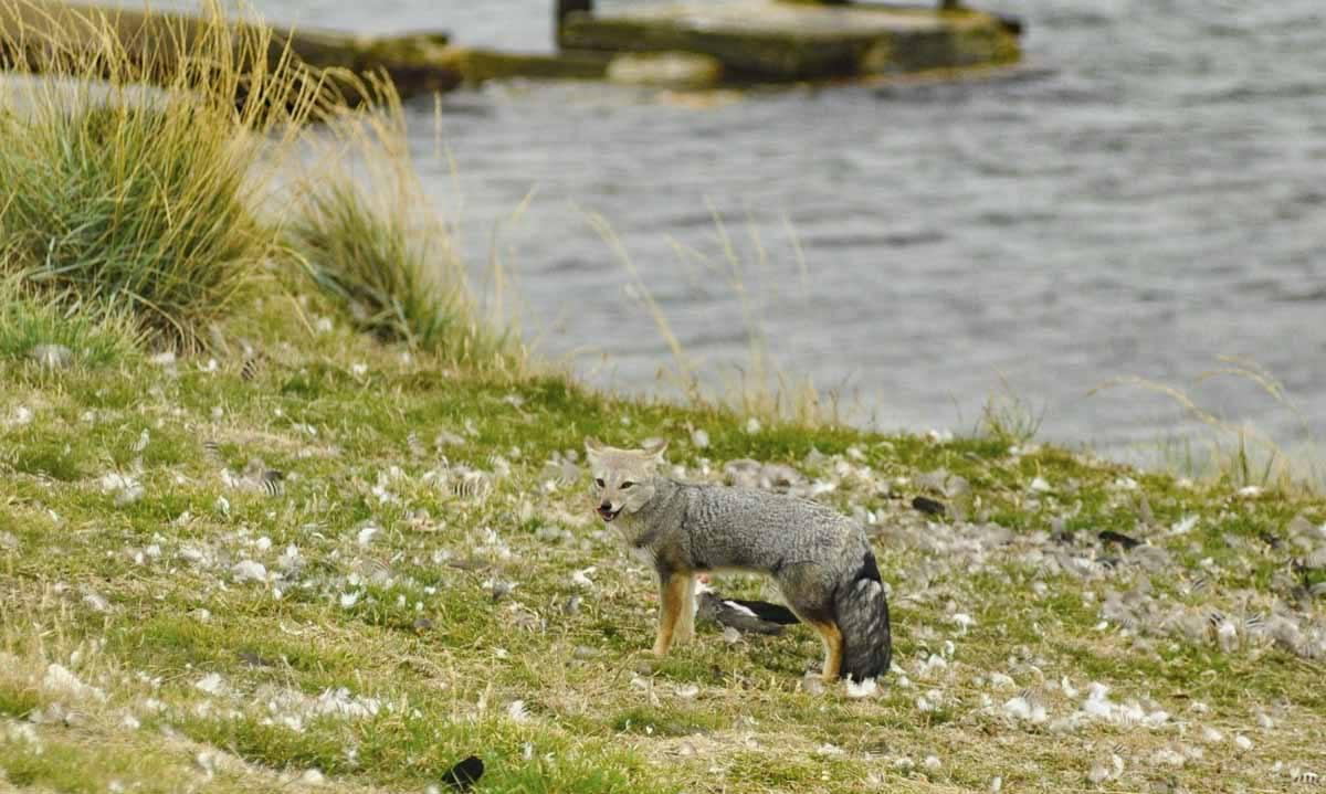 falkland patagonian fox