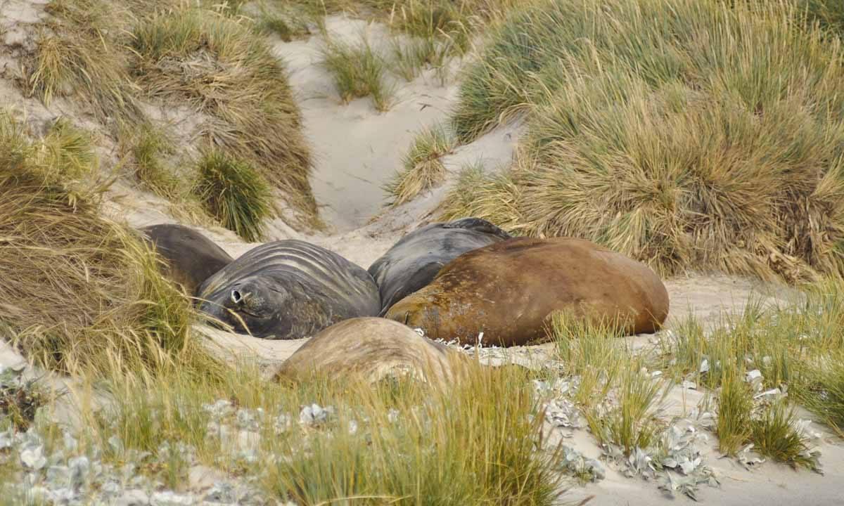 falkland sea lion sleeping