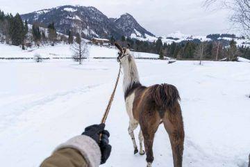 llama trekking in tyrol ethical