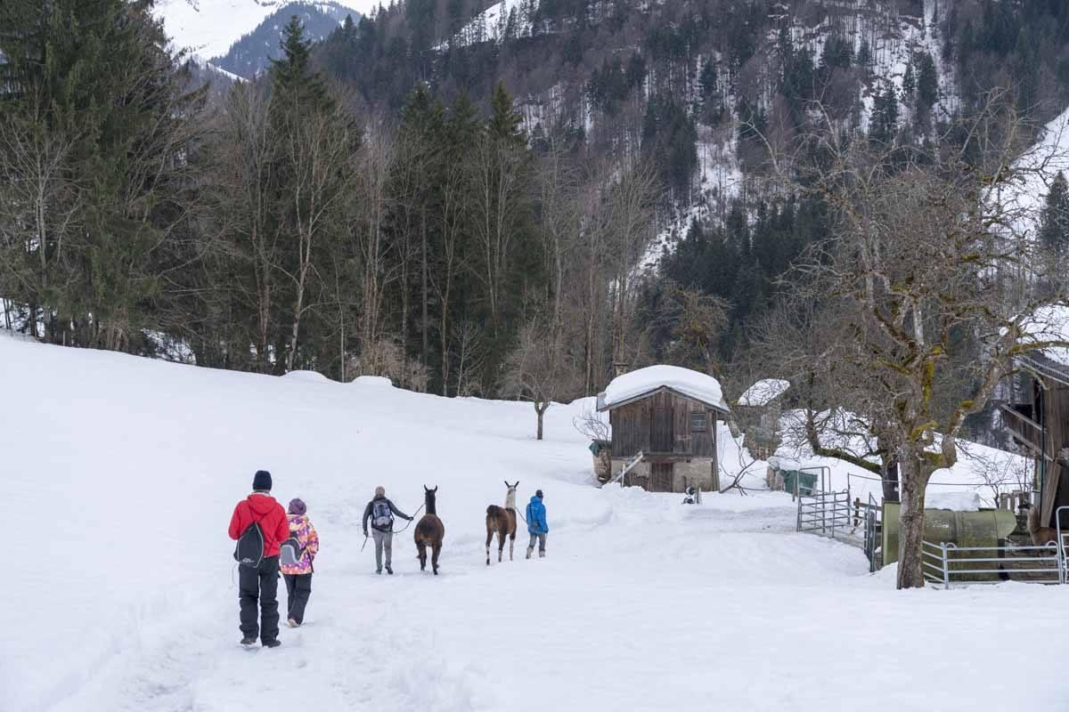 llama trekking in tyrol winter