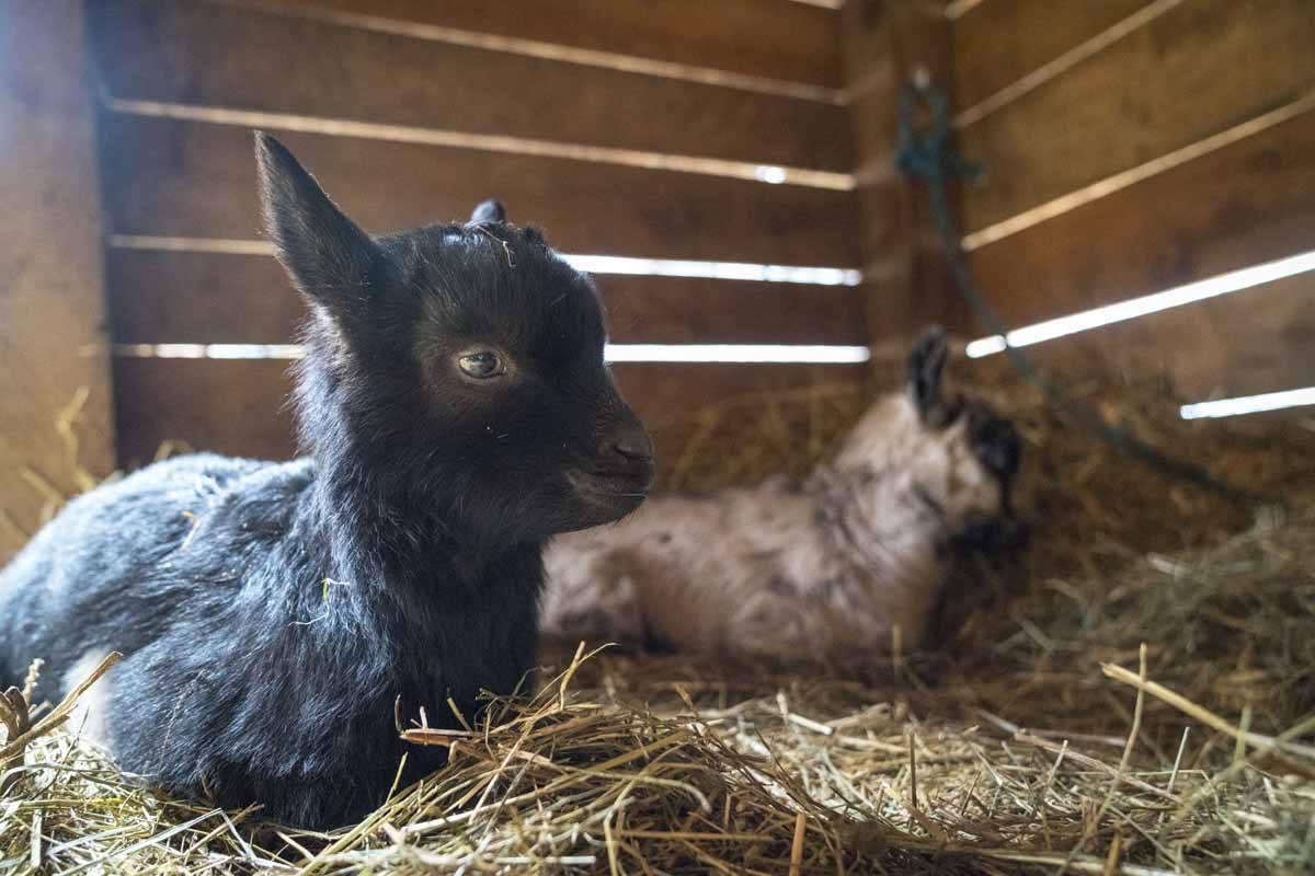 rifugio san pietro baby goats