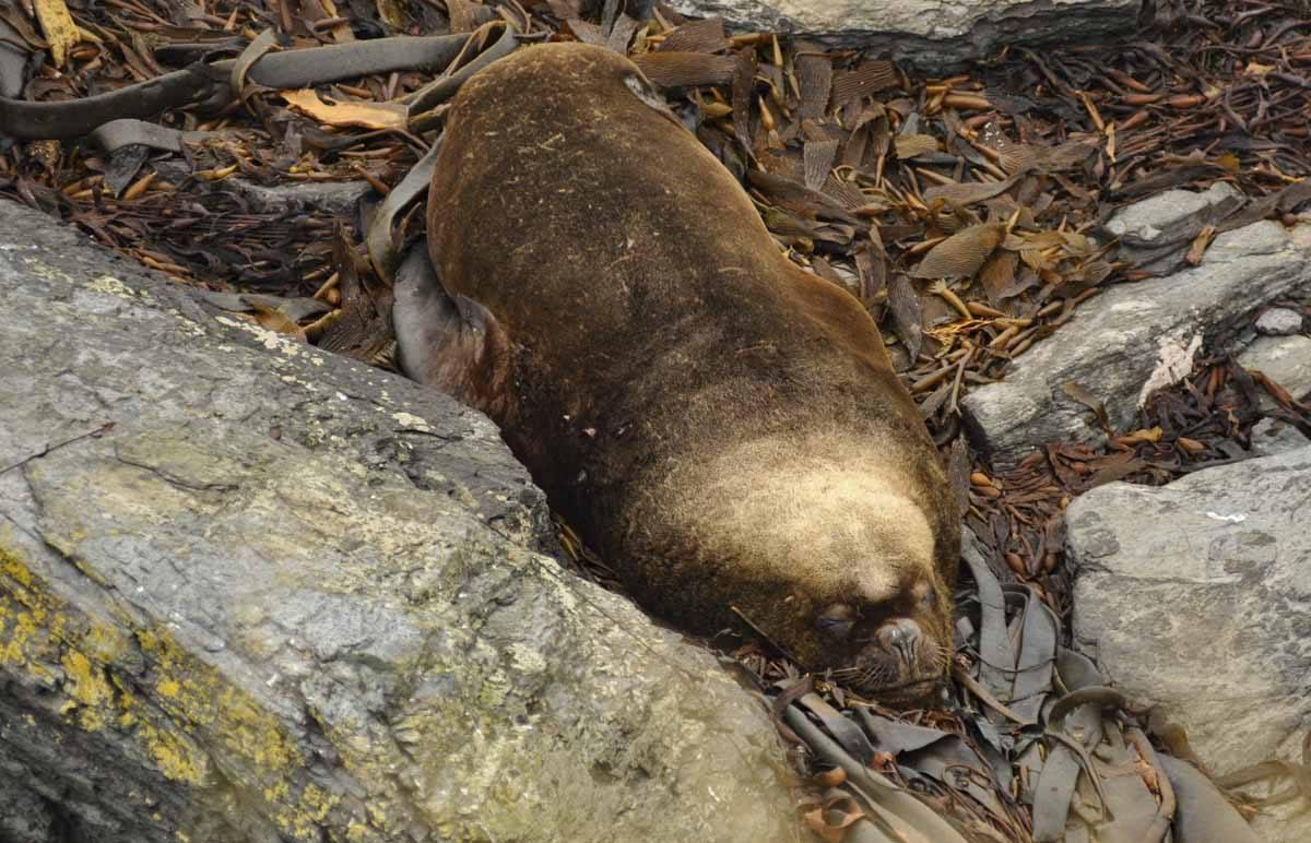 sea lion falkland island
