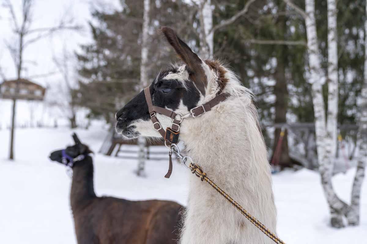 two llamas tyrol