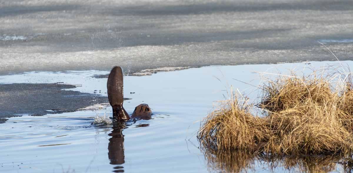 elk island national park beaver