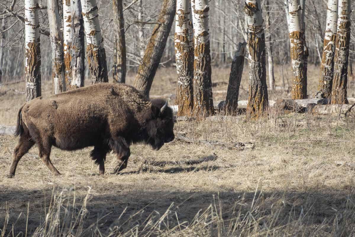 elk island national park bison walking
