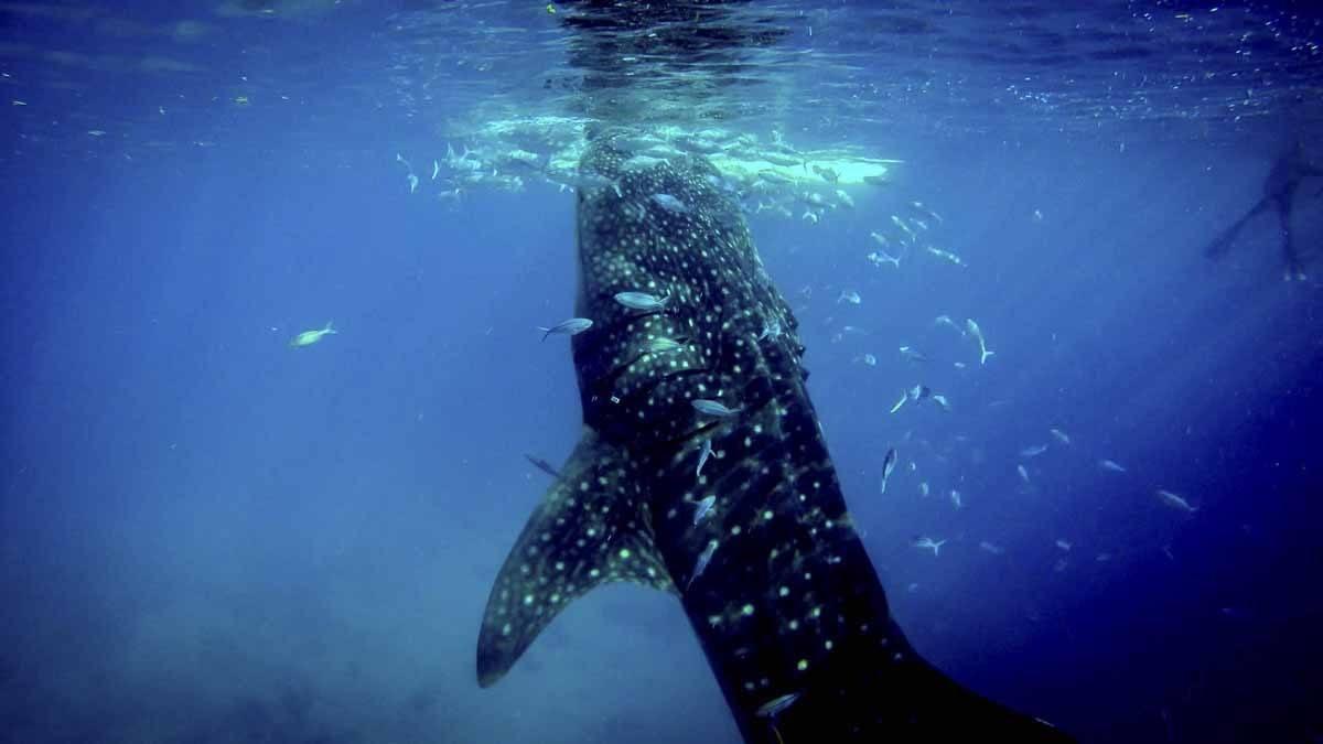 whale shark blue mexico