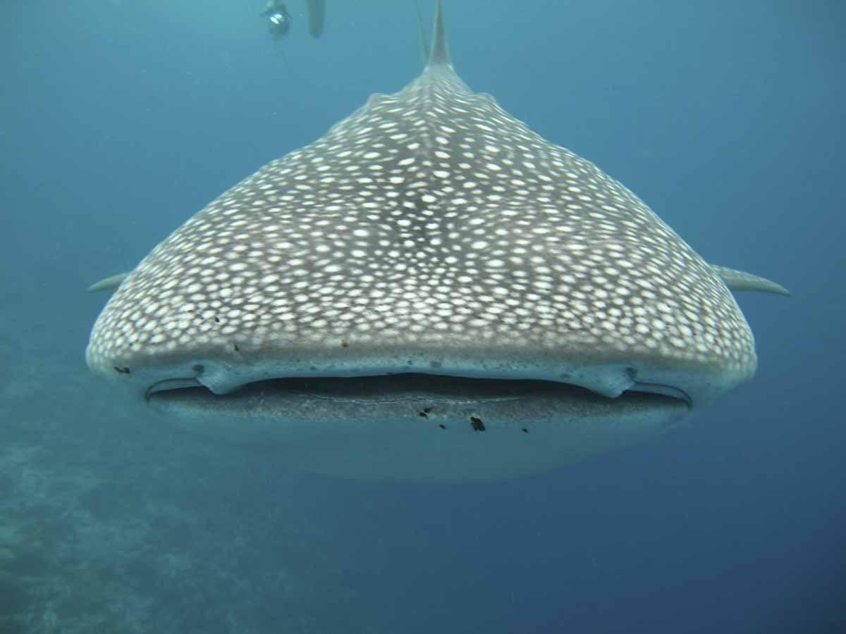 whale shark mouth