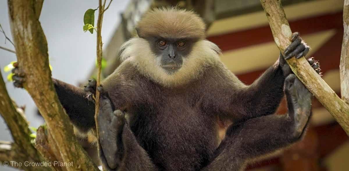 purple faced macaque sri lanka