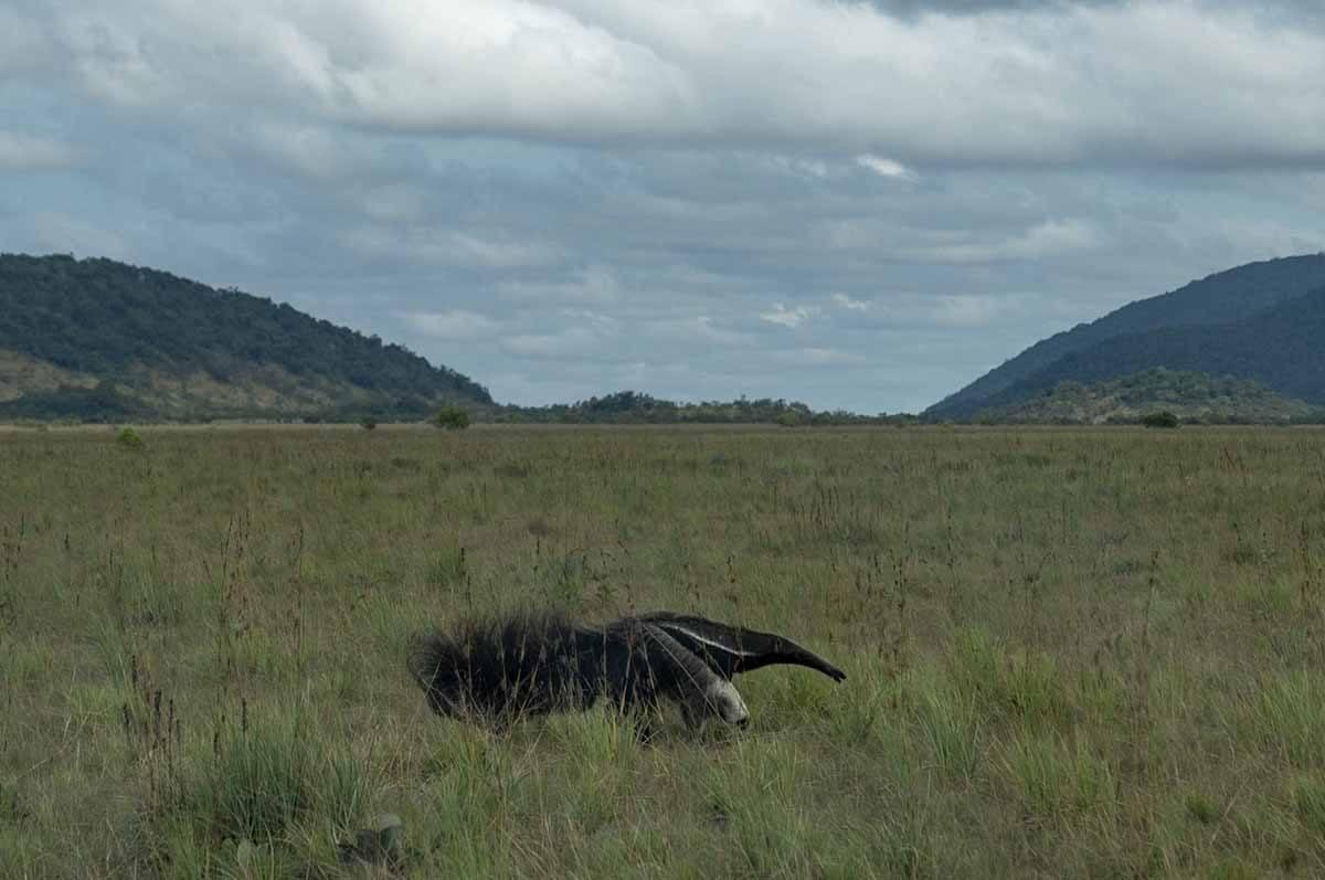 guyana animals anteater