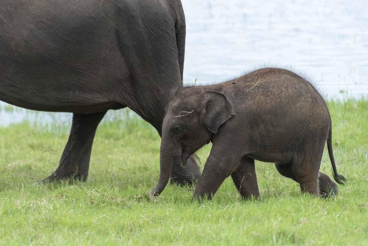 baby elephant kaudulla national park