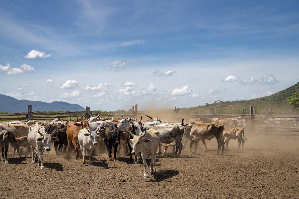 cows corral guyana ranch