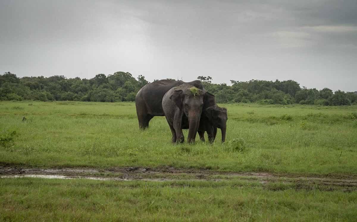 elephant grass on head sri lanka
