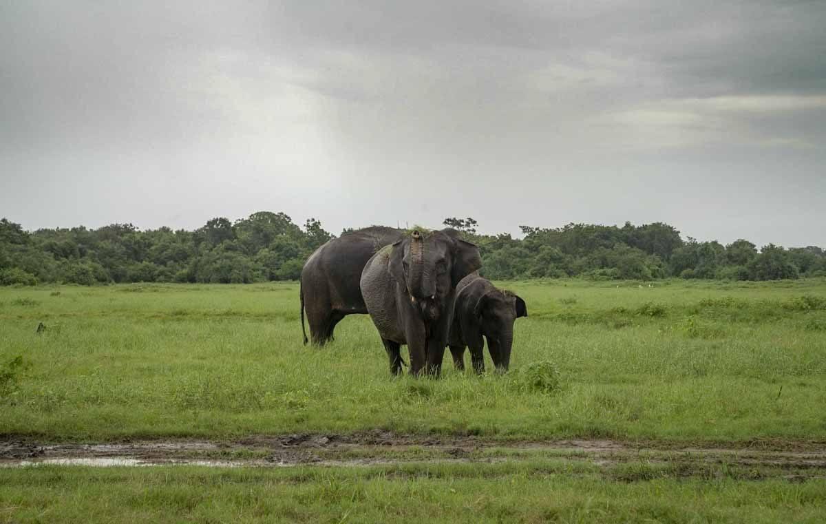 elephant trunk up kaudulla