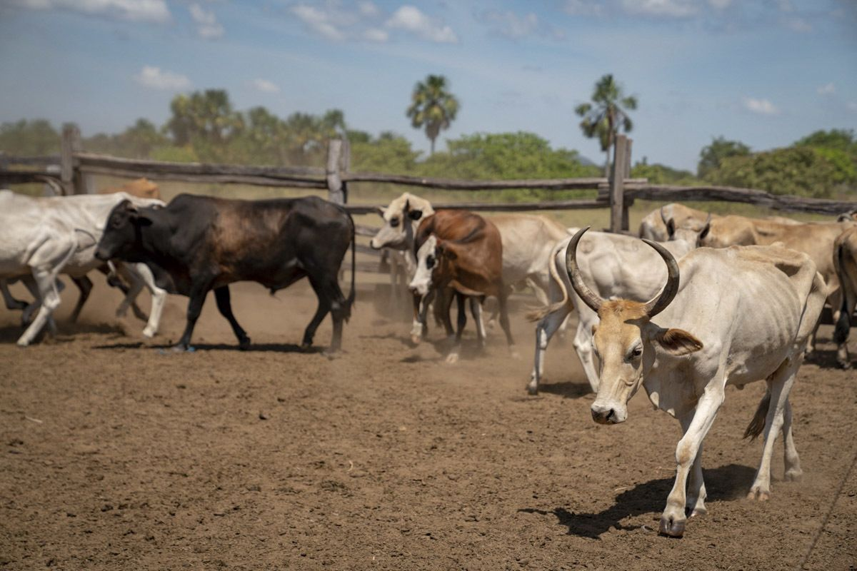 guyana ranch saddle mountain cows
