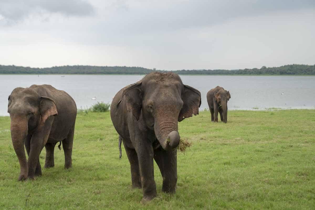 kaudulla four elephants