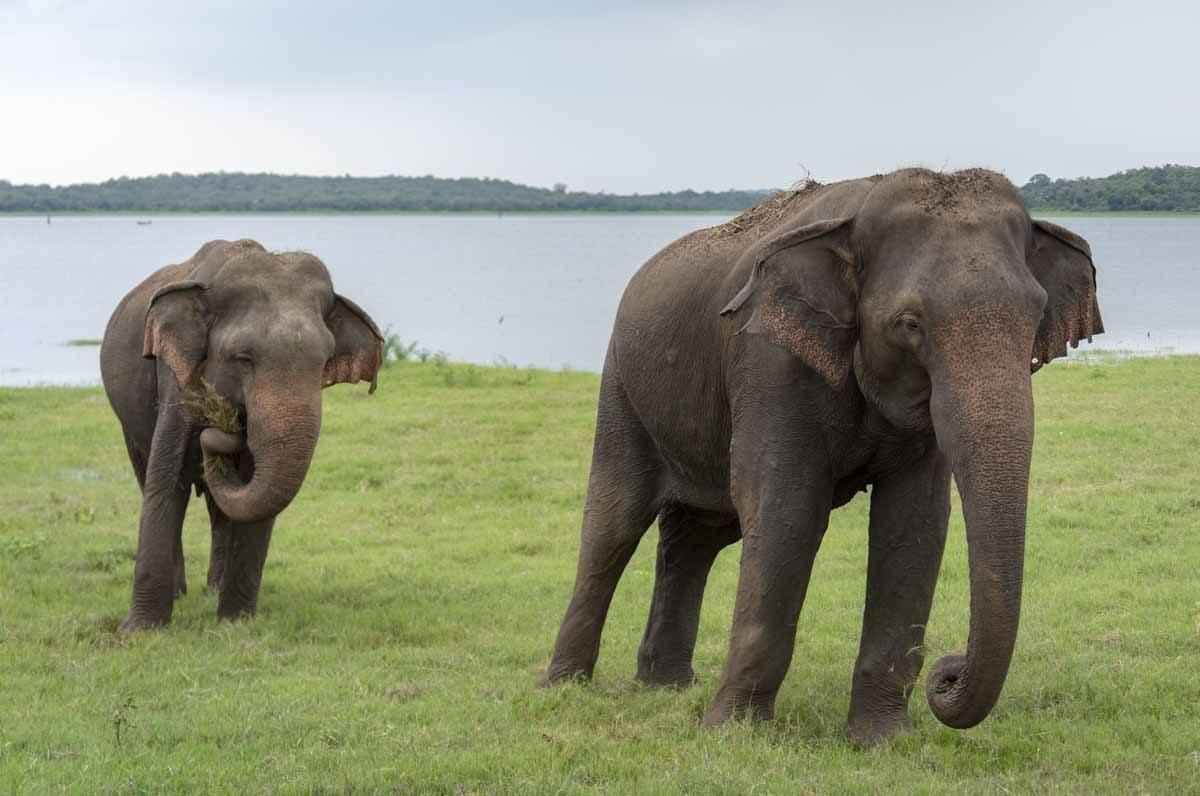 kaudulla national park two elephants