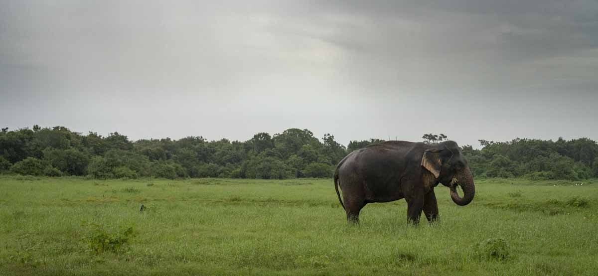lonely elephant sri lanka