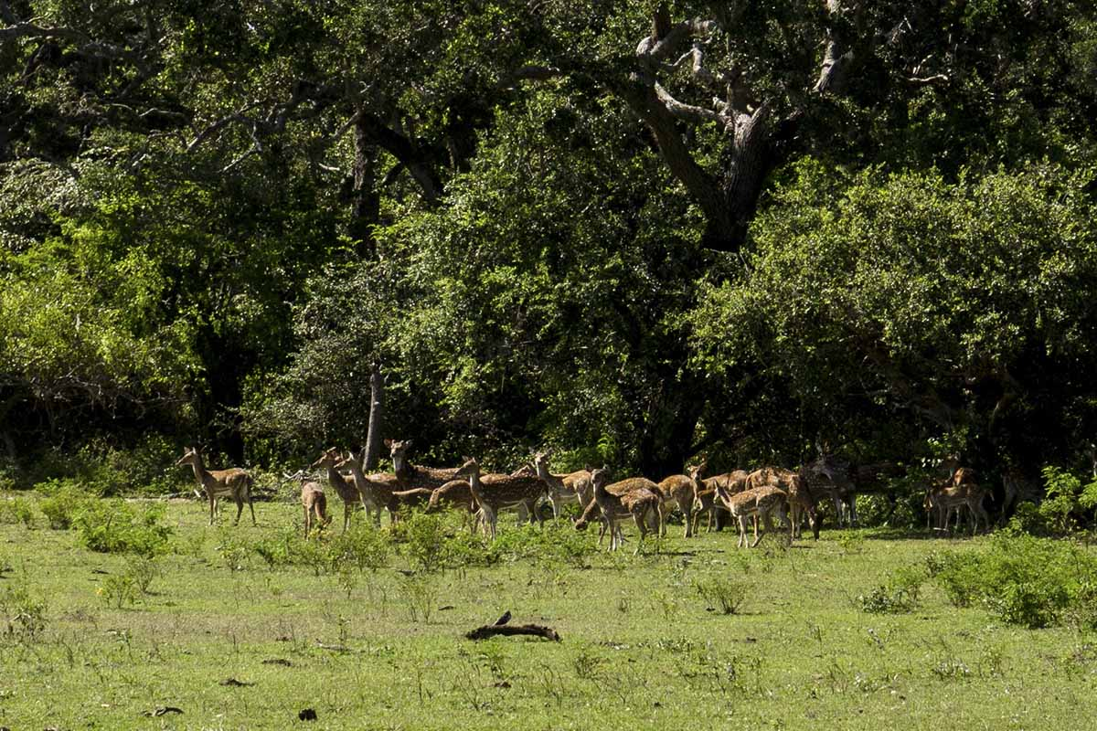 yala national park sambar deer