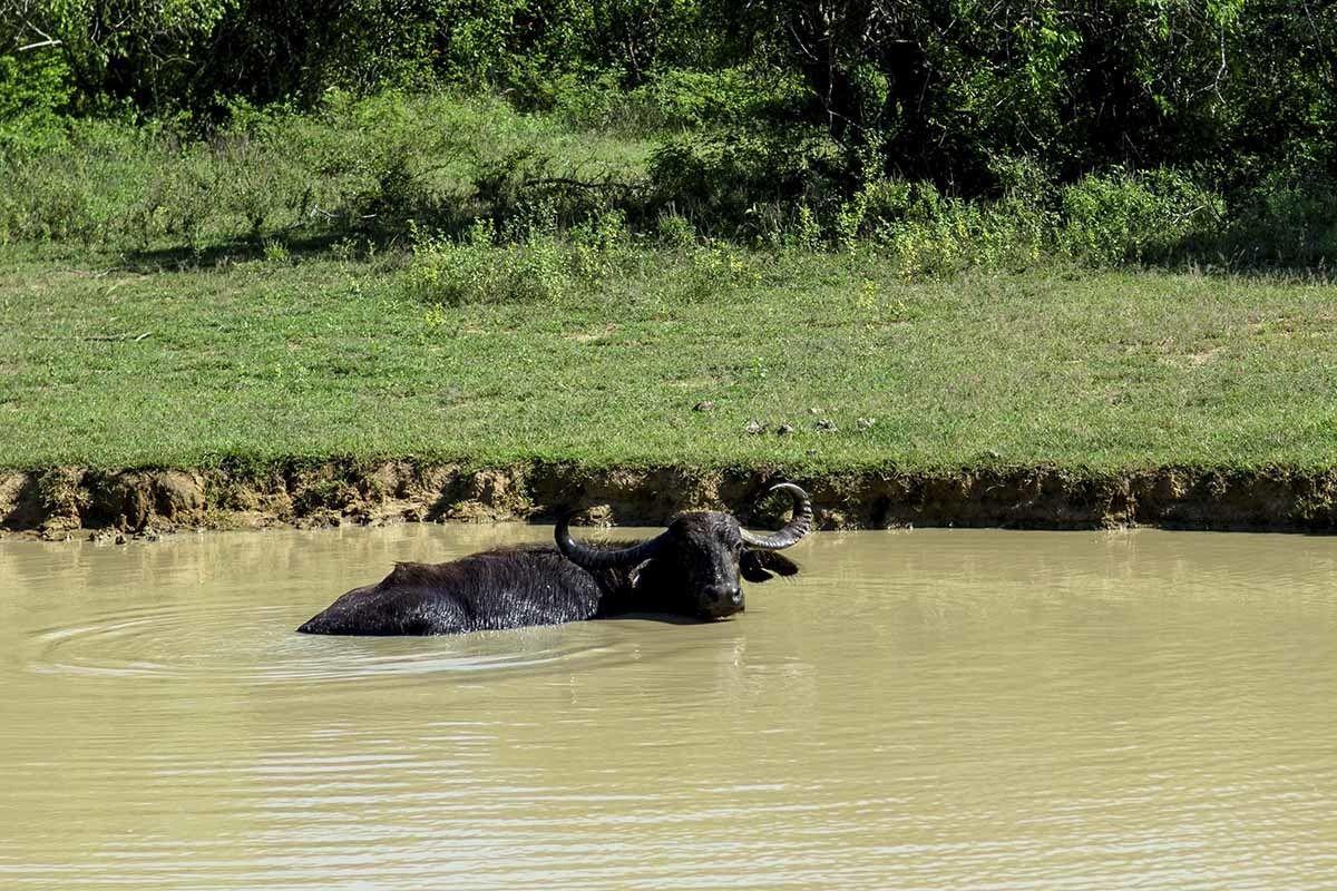 yala national park water buffalo
