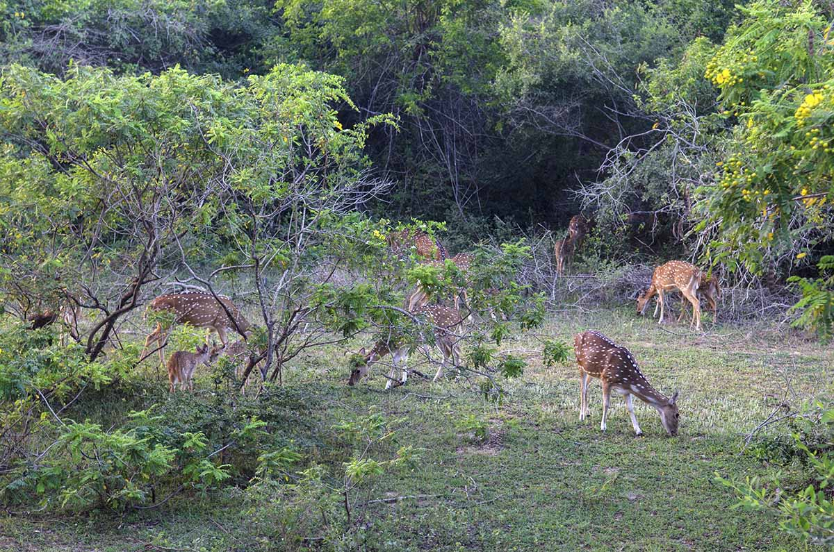 yala sri lanka spotted deer