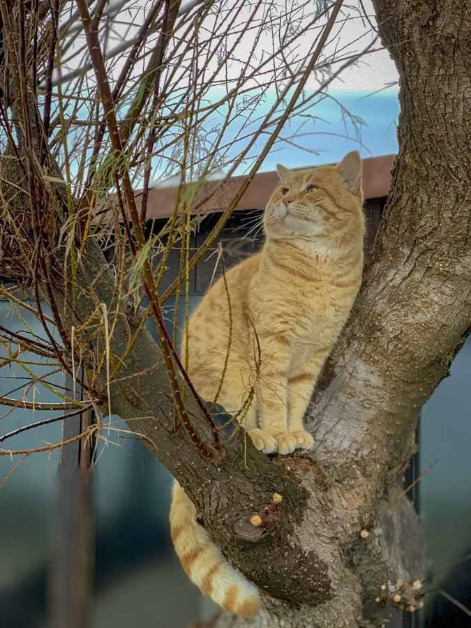 king of sardinia cat
