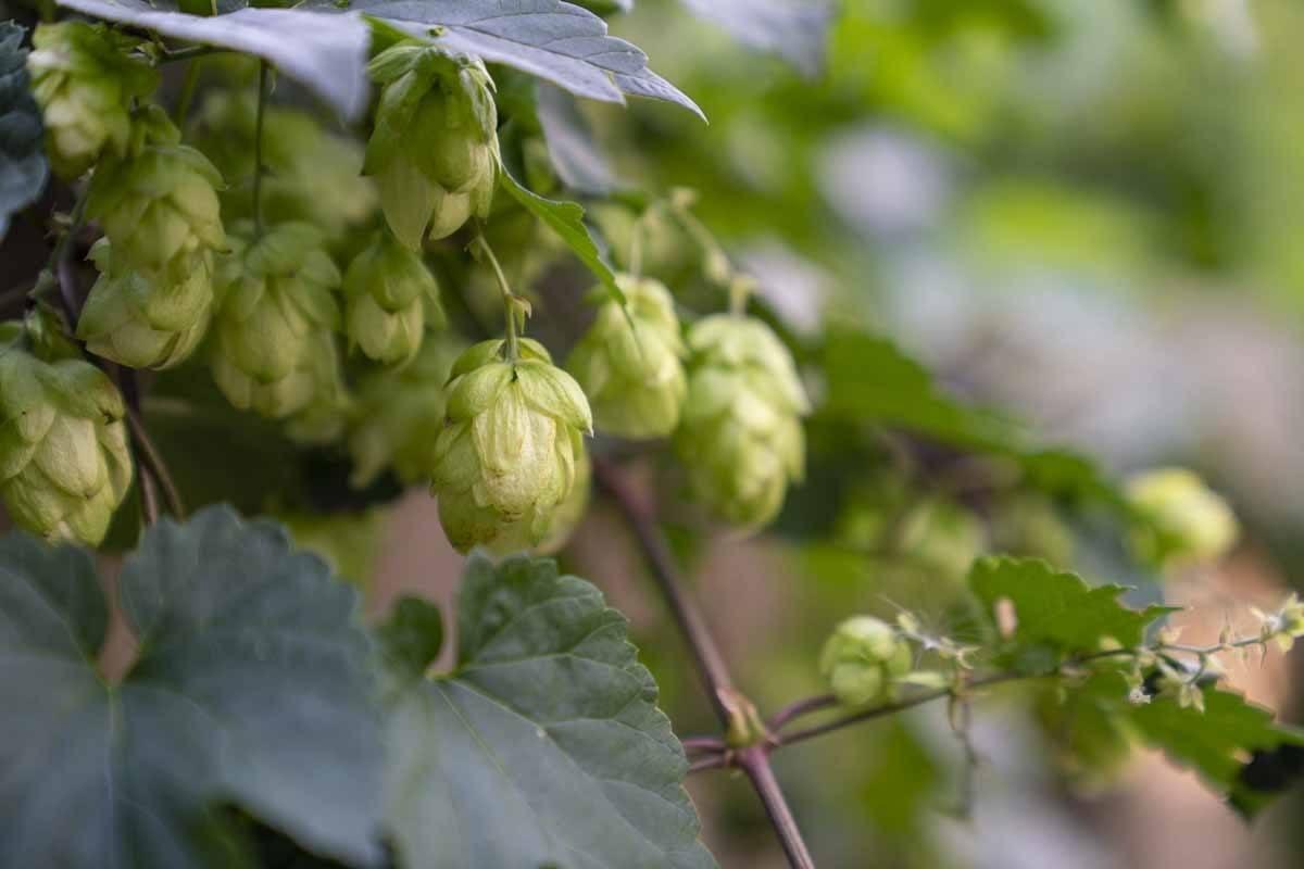hops on brewery hike franconian switzerland