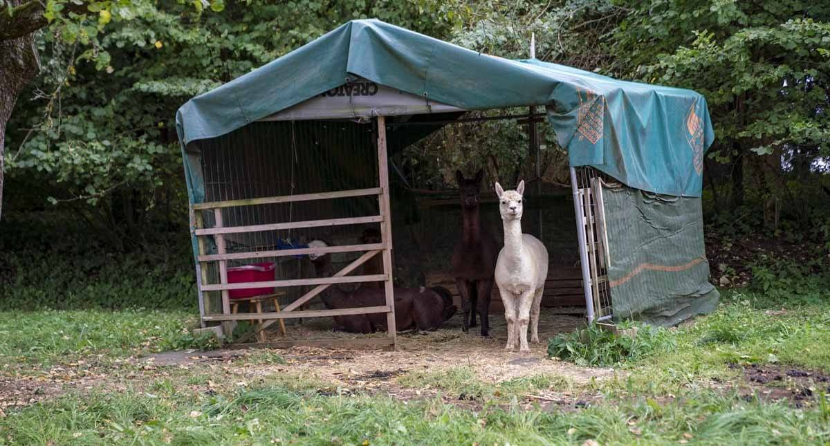 random llama franconia