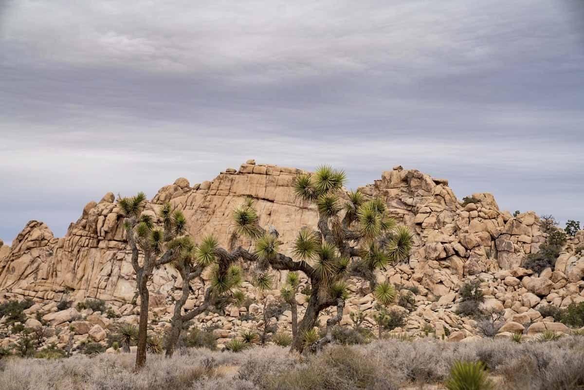 joshua tree mojave desert california