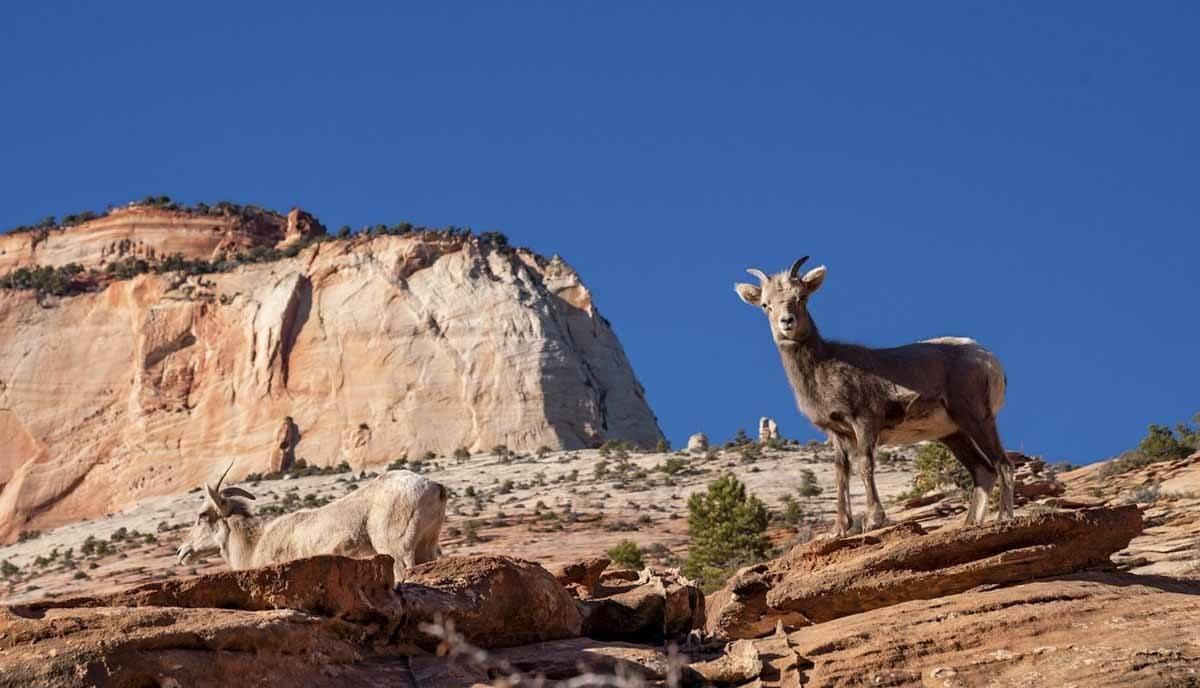 zion national park canyon mountain goat